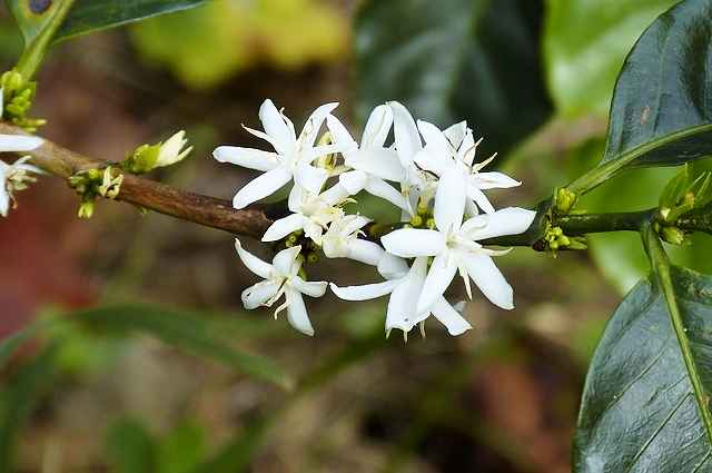 coffee-flower-280734_640